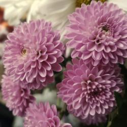 Boechout vraagt om geen planten of bloemen te planten rond zerken
