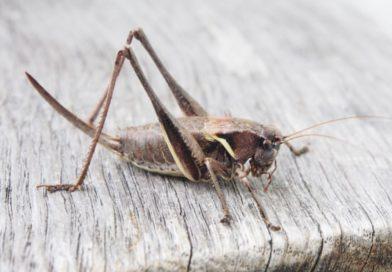 Eetbare insecten bevatten weinig vervuilende stoffen