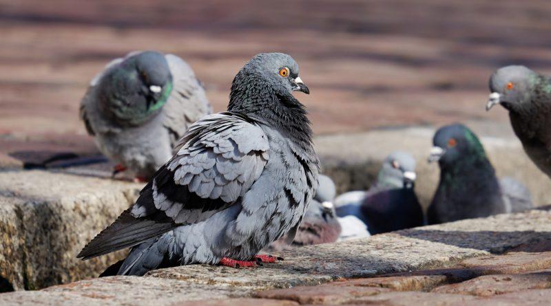 Medicinale bestrijding van overlast van duiven in Lier